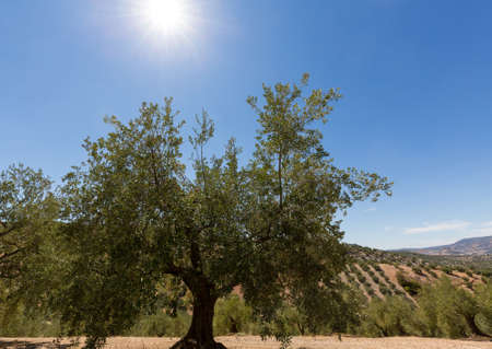 Olive trees in rows reaching to the far distance on hills and mountain sides in Andalucia in Southern Spain Banco de Imagens