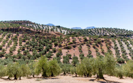 olive green: Olive trees in rows reaching to the far distance on hills and mountain sides in Andalucia in Southern Spain Stock Photo
