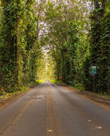 eucalyptus trees: Famous mile long tunnel of Eucalyptus trees along Maluhia Road to Koloa Town, Kauai Hawaii Stock Photo