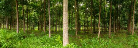 caoba: Panorama de troncos en la plantación de árboles de caoba en Kauai, Hawaii, EE.UU. Foto de archivo