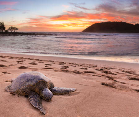 Beached green sea turtle on sand at Moloaa Beach on east coast of Kauai in Hawaii
