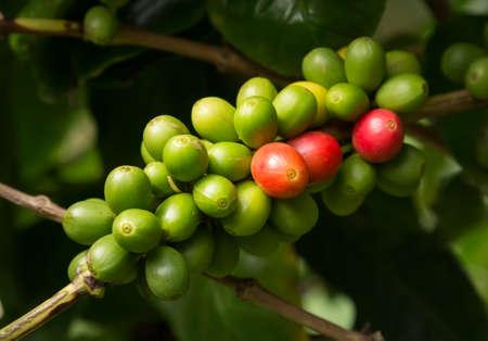 frijoles rojos: El manojo de granos de caf� de Kona de Hawai rojas rojas y verdes en la ramificaci�n en la plantaci�n en Kauai, Hawaii