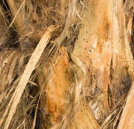 bark peeling from tree: Stringy peeling bark of tree in plantation in Kauai, Hawaii Stock Photo