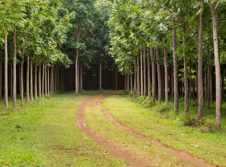 caoba: Vía o pista conduce a través de la plantación de árboles de caoba en Kauai, Hawaii, EE.UU.