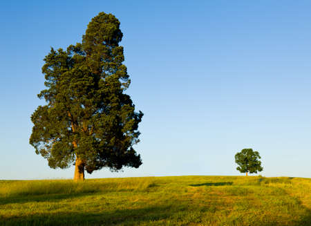 pine green: Large pine type tree with another smaller tree on horizon line in meadow or field to illustrate concept of big and small or parent and child Stock Photo