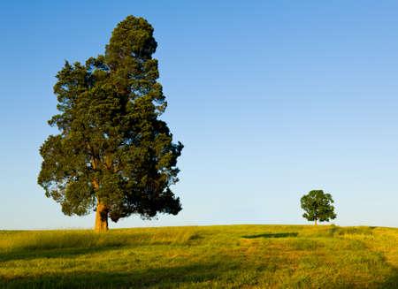Un gran árbol de pino tipo con otro árbol más pequeño en la línea del horizonte en el prado o campo para ilustrar el concepto de padre e hijo grande y pequeño o Foto de archivo