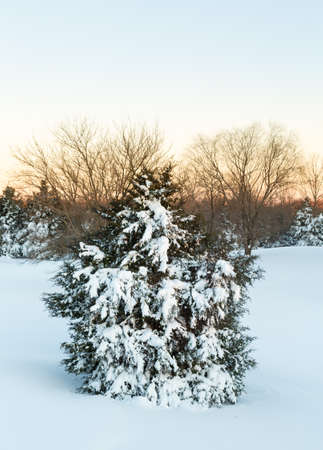 laden: Snow in drifts cover fir or pine tree at dawn after blizzard of January 2016 in North Eastern USA