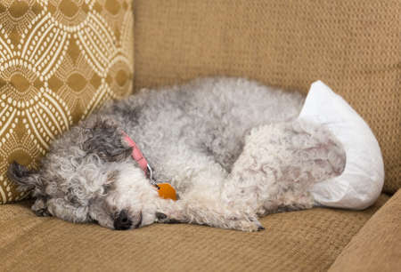 Old yorkshire terrier poodle mix dog asleep on couch and wearing a doggy diaper for incontinence Foto de archivo