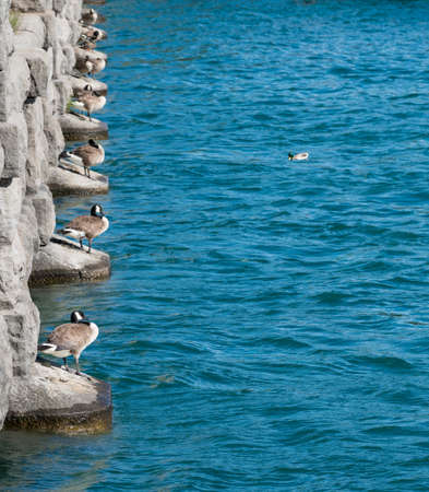lined up: Row of ducks lined up on bridge piers by collection pool for hydroelectric power station at Niagara Falls Canada