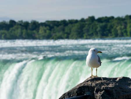 horseshoe falls: Seagull overlooks Canadian or Horseshoe waterfall from Canadian side of Niagara Falls Stock Photo