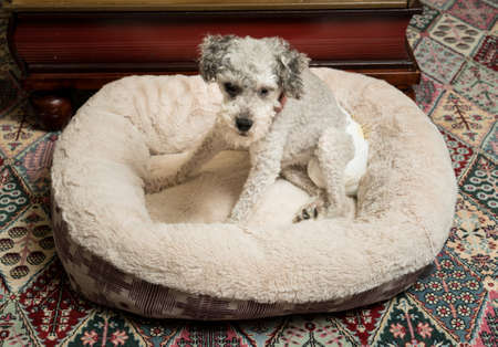 incontinence: Old yorkshire terrier poodle mix dog sitting on her bed and wearing a doggy diaper for incontinence Stock Photo
