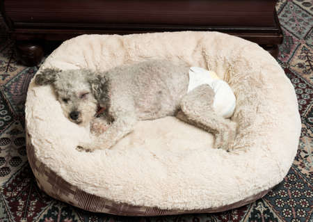 incontinence: Old yorkshire terrier poodle mix dog asleep on her bed and wearing a doggy diaper for incontinence