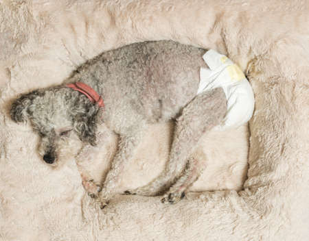 poodle mix: Old yorkshire terrier poodle mix dog asleep on her bed and wearing a doggy diaper for incontinence
