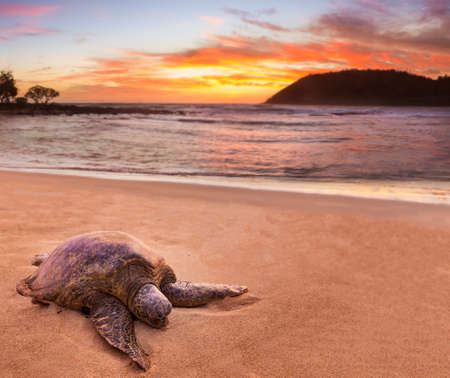 beached: Beached green sea turtle on sand at Moloaa Beach on east coast of Kauai in Hawaii