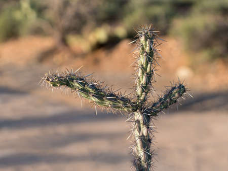cholla: Macro image of the three arms of a cholla cactus isolated in desert showing sharp spiky branches
