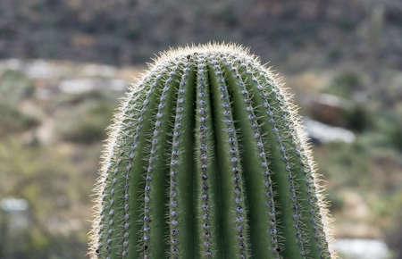 Close image of the top of the column of Saguaro Cactus