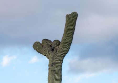 gigantea: Rare Crested saguaro cactus plant in National Park West near Tucson Arizona