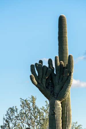 sonora: Rare Crested saguaro cactus plant shaped like baseball pitcher glove in National Park West near Tucson Arizona
