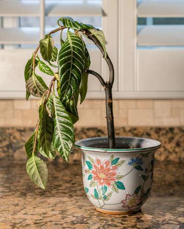 창피, 우울 또는 우울증의 그림으로 치료의 부족과 물을 보여주는 부엌에서 집 식물을 비듬