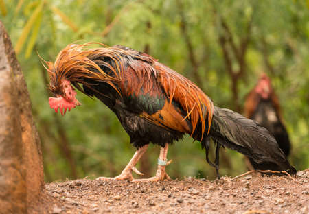 Free ranging wild poultry cockerel on Hawaiian island of Kauai soaking wet after a drenching rain storm