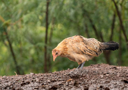 Free ranging wild poultry hen on Hawaiian island of Kauai soaking wet after a drenching rain storm