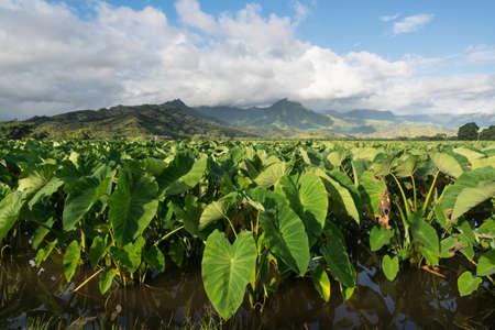 Hanalei Valley on island of Kauai with focus on Taro plants and mountains in background near Hanalei, Kauai, Hawaii, United States of America