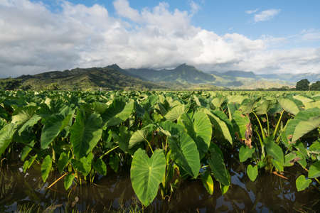 Hanalei Valley on island of Kauai with focus on Taro plants and mountains in background near Hanalei, Kauai, Hawaii, United States of America