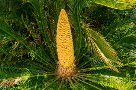 Yellow fruit cone like corn on the cob in center of fern like leaves of Sago Palm tree in Hawaii Stok Fotoğraf
