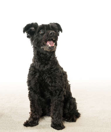 Isolated portrait of black yorkie poo or yorkshire terrier mix with poodle with schnauzer look