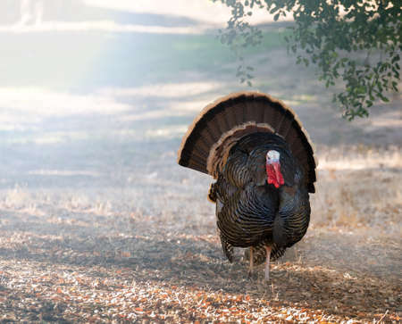 Close up of wild turkey strutting with tail feathers in fan across sun dappled field Stock Photo