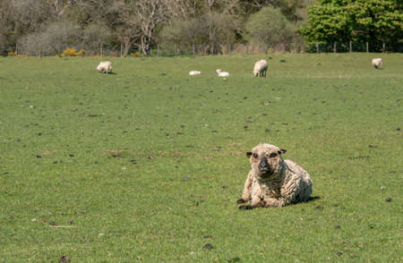 Front view portrait of angry Shropshire sheep breed in welsh meadow