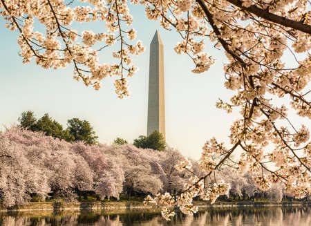 Cherry blossoms frame the Washington monument in Washington DC during Cherry Blossom Festival as the tidal basin reflects the blooms Фото со стока