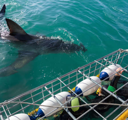 Great White Shark next to diving cage with divers off the Ganbaai coast, Cape Town, South Africa Reklamní fotografie