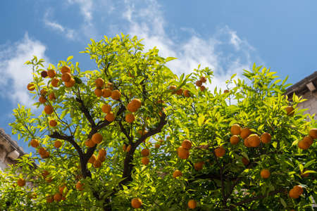 Oranges and orange tree in Franciscan Monastery in the old town of Dubrovnik in Croatia