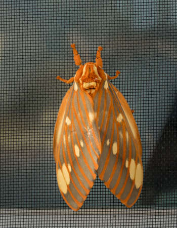 Macro image of a large Regal Moth known as Citheronia Regalis which landed on the window screen in West Virginia