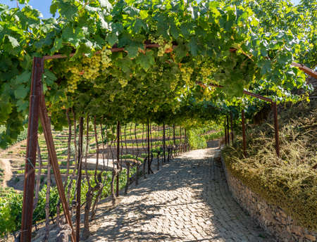 Bunches of green grapes on terrace for port wine production line the hillsides of the Douro valley in Portugal 写真素材