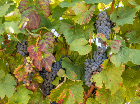 Bunches of black or red grapes for port wine production line the hillsides of the Douro valley in Portugal
