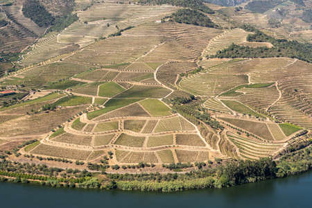 Terraces of grape vines for port wine production line the hillsides of the Douro valley in Portugal