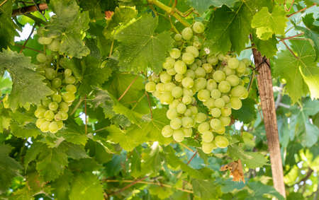 Bunches of green grapes for wine production line the hillsides of the Douro valley in Portugal 写真素材