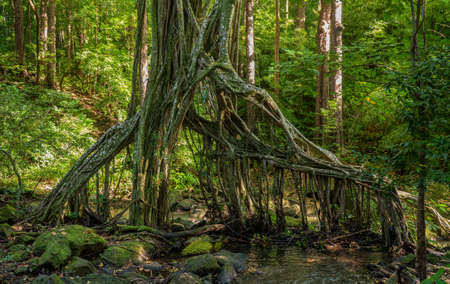 Spooky shape of the hanging roots of the banyan tree over a stream in the forests of Oahu in Hawaii 版權商用圖片