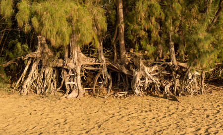 Panoramic view of the erosion to Kee beach caused by sea waves under trees and root structure in the sand Stock Photo