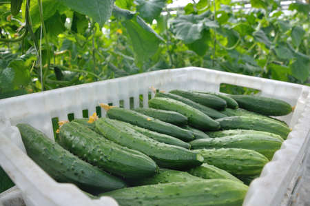 greenhouse, cucumbers in a box photo