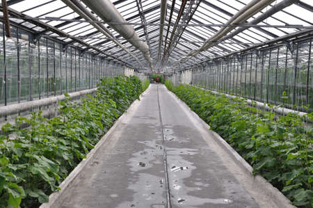 greenhouse cucumbers photo