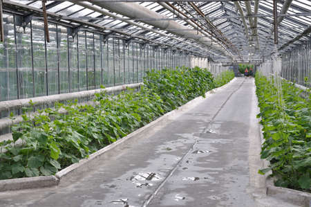 greenhouse cucumbers photo