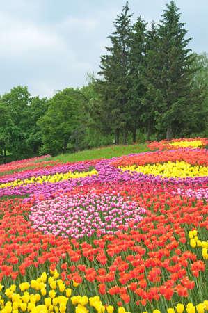 multicolored tulips in the garden photo