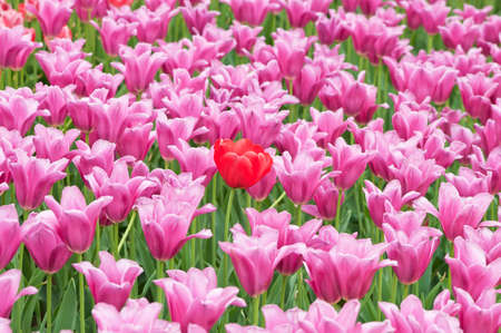 many tulips in the garden photo