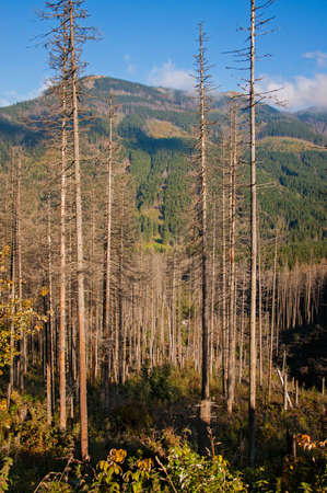 dry pine forest in the Tatra mountains photo