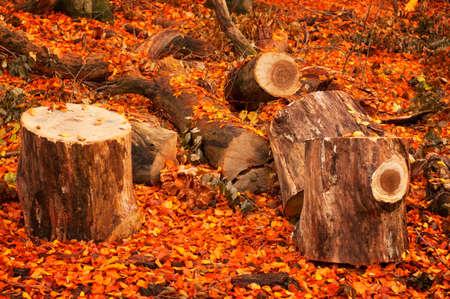autumn forest: Due moncone nella foresta di autunno