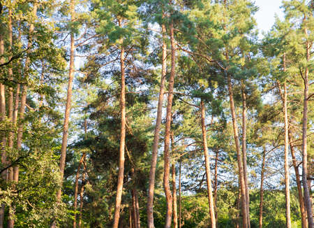 treetops: treetops beautiful pine forest Stock Photo