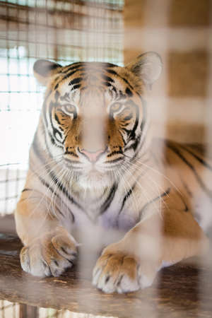 beautiful tiger closeup in a cage photo